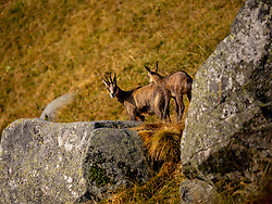 Chamois seen near rocks looking at camera at Hohneck, France