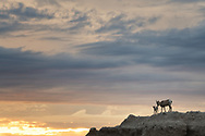 A bighorn sheep on a ridgeline with her lamb in Badlands National Park, South Dakota