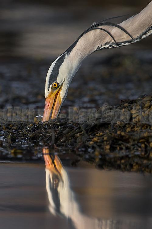 Gray Heron se itself when catching fish   Gråhegre ser seg selv når den fanger fisk.