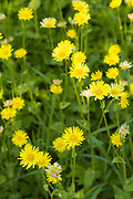Wildflowers - yellow daisy style - in English countryside