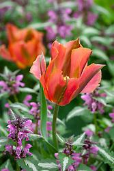 Tulipa 'Artist' AGM with Lamium maculatum 'Roseum' - Spotted deadnettle