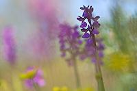 Anacamptis morio ssp. morio; Apulia; Gargano National Park; Gargano Peninsula; Green-winged Orchid; Italy