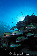 harlequin sweetlips, Plectorhinchus chaetodonoides, queue up at a cleaning station, Sipadan Island, off Borneo, Sabah, <br /> Malaysia ( Celebes Sea, Western Pacific Ocean )