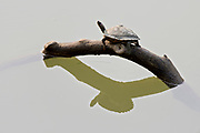 The endangered Assam roofed turtle (Pangshura sylhetensis) from the river Diphlu in Kaziranga, Assam, India.