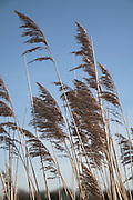 Reeds standing against blue sky, Suffolk, England