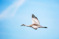 """Sandhill Crane in flight. Cranes are among the oldest of living bird groups, and the sandhill crane in particular is the oldest currently existing bird species."""" Fossil remains of sandhill cranes have been found that date back nine million years. Once endangered but steadily improving, evidence that we humans can do good things if we put our minds to it."""