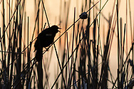A red-winged blackbird calls in the reeds at Fancher-Davidge Park in Middletown, N.Y., on April 18, 2020.