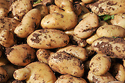 A pile of fresh potatoes
