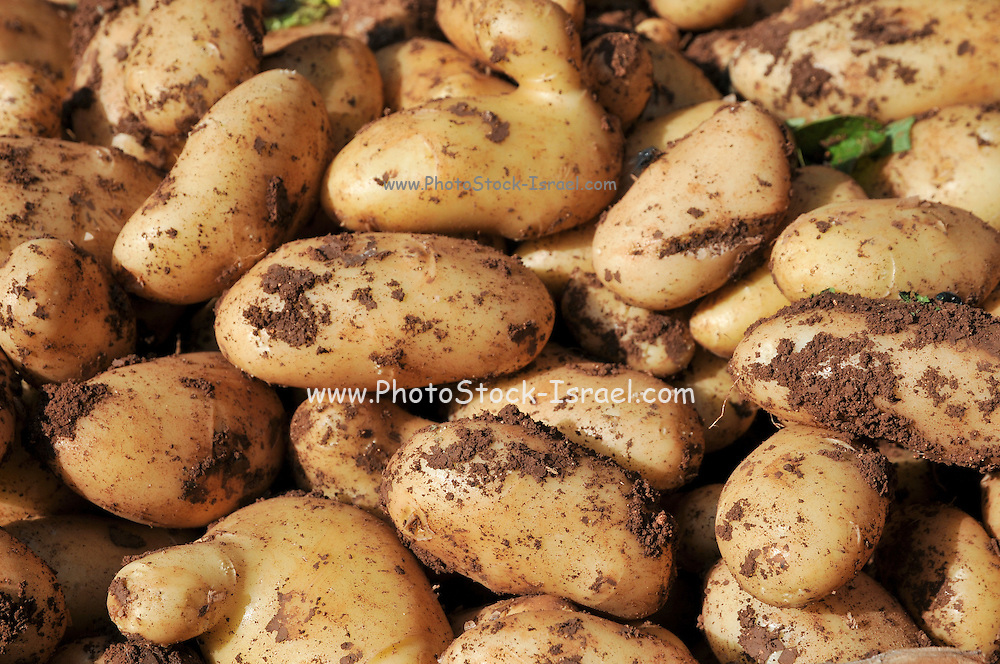 A pile of fresh potatoes