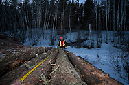 Photo Randy Vanderveen.Grande Prairie, Alberta.Mike Dutove, of the South Peace Municipalities Mountain Pine Beetle program, measures the butts and length of logs to ensure they meet the standards requested by the saw mill and pulp contract holders taking them. He marks the ends of the logs not meeting standards. The trees harvested to control mountain pine beetle are utilized as much as possible for lumber, pulp or hog fuel for an area electrical co-gen plant.