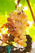 ripe grapes domaine pelaquie rhone france
