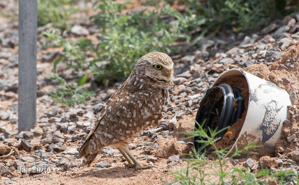 A Burrowing Owl, Athene cunicularia, stands at the entrance to its artificial burrow in Zanjero Park, Gilbert, Arizona