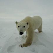 Polar Bear (Ursus maritimus) Cape Churchill, near Churchill, Manitoba. November.