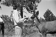 Octavia Hirschman feeding Mule Deer, September 1949.