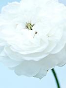 Rosa 'Madame Hardy' - Damask rose