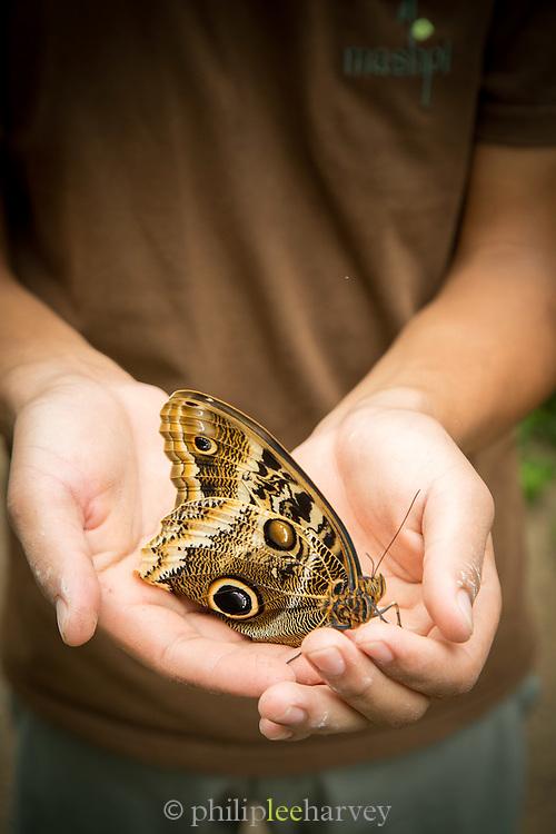Guide holding a Yellow-edged Giant Owl Butterfly, (captive)Mashpi Reserve. Ecuador, South America