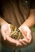 Guide holding a Yellow-edged Giant Owl Butterfly, (captive)Mashpi Reserve. Ecuador, South America