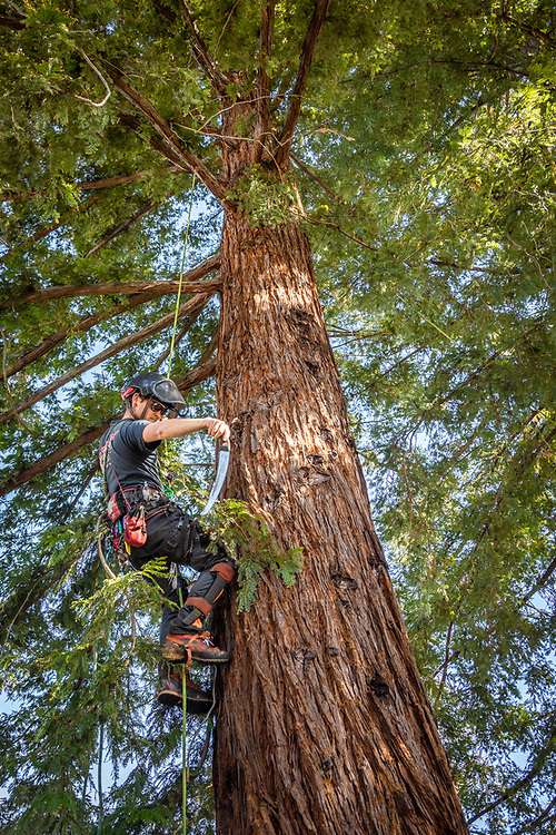 """""""I don't have a back up plan.  I love climbing trees and I want to do this as long as I can.""""  -Franz Valley Tree Service employee Brian Rector climbs a giant redwood at a neighbor's home on School Street in Calistoga."""