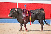 A stabbed bull stands in the ring at the annual village festival of San Juan in Campos del Rio, near Murcia in southern Spain. Each bullfight ends with the killing of the bull by the matador (bullfighter).