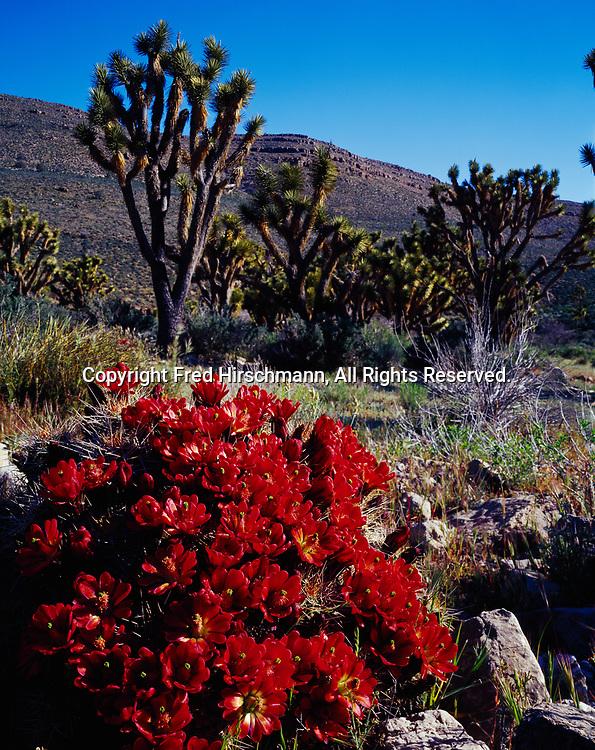 Claret Cup Cactus, Echinocereus triglochidatus, in full bloom with Joshua Trees, Yucca brevifolia, Joshua Trees Natural Landmark, Grand Wash Cliffs, Arizona.