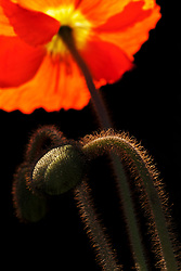 A Red Poppy Bud shown against a dark background. Oriental Poppies have a very interesting texture throughout their life cycle, and offer interest in the garden in every season.