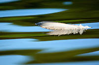 Bird feather on water.