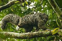 Equatorial Saki (Pithecia aequatorialis) at the Tiputini Biodiversity Station, Orellana Province, Ecuador.