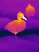 Thermogram of a Cinnamon Teal Duck. (Anas cvanoptera)  The different colors represent different temperatures on the object. The lightest colors are the hottest temperatures, while the darker colors represent a cooler temperature.  Thermography uses special cameras that can detect light in the far-infrared range of the electromagnetic spectrum (900?14,000 nanometers or 0.9?14 µm) and creates an  image of the objects temperature..