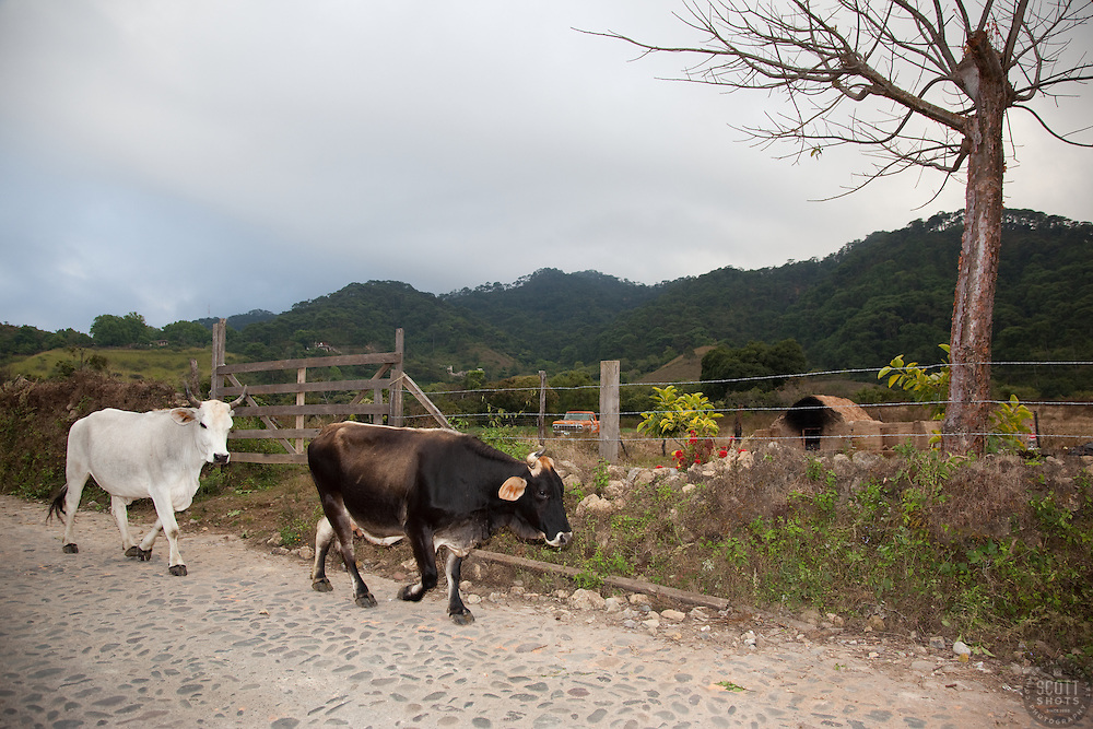 """""""Cow and Bull in San Sebastian"""" - This cow and bull were photographed in the small mountain town of San Sebastian, Mexico."""