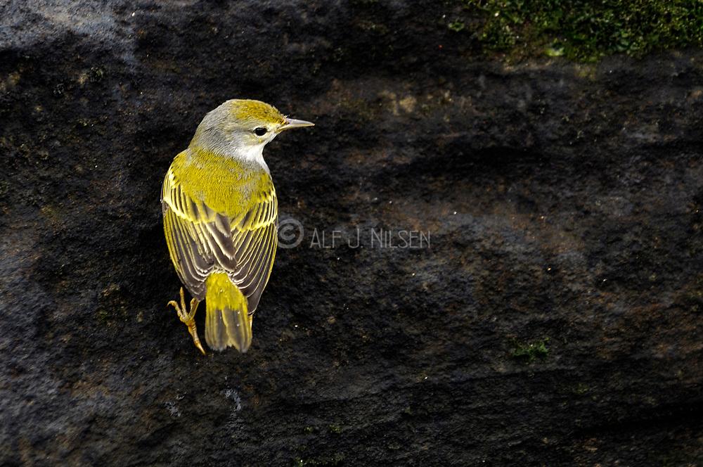 Yellow Warbler (Setophaga petechia aureola, female) from Puerto Egas, Santiago Island, Galapagos.