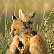 Red Fox kit siblings showing affection. Springtime in Montana