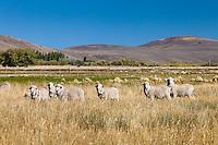 OVEJAS EN UN CAMPO, ESTANCIA LELEQUE, PROVINCIA DEL CHUBUT, ARGENTINA (PHOTO © MARCO GUOLI - ALL RIGHTS RESERVED)