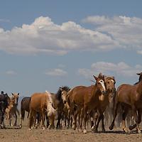 A nomadic Mongolian family's herd of horses trots across the southern Gobi Desert.