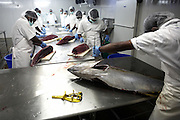 Ex-Tsunami fishermen processing yellow fin tuna at Cyprea Marine Foods EU-standard factory at Himmafushi, Republic of Maldives
