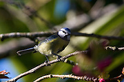 Blue tit, parus caeruleus, in a cherry tree