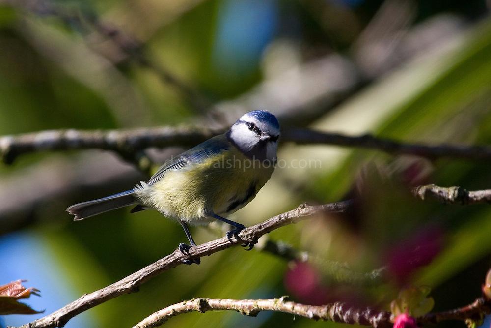 Blue tit, parus caeruleus, in a cherry tree