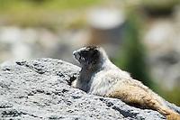 Chipmunk at the Paradise Park area of Mt. Rainier National Park, WA.