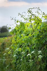 Hop shoots in hedge. Humulus lupulus