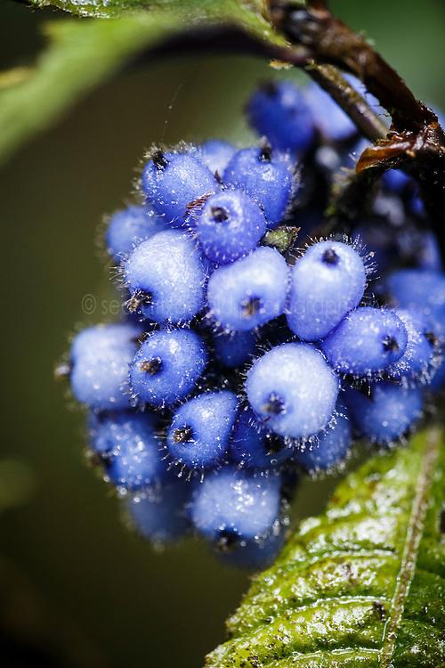 Blue berries in premontane cloud forest, Nectandra Cloud Forest Garden, Costa Rica.