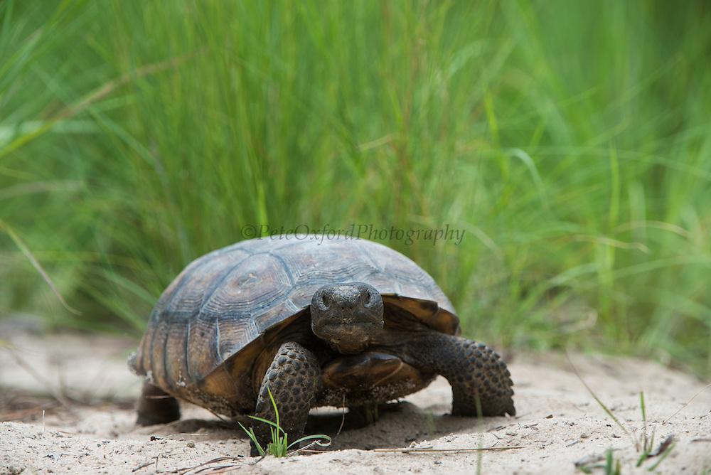Gopher Tortoise (Gopherus polyphemus) Female<br /> MANIPULATED<br /> The Orianne Indigo Snake Preserve<br /> Telfair County. Georgia<br /> USA<br /> Threatened species in Georgia<br /> HABITAT & RANGE: Frequently burned longleaf pine & oak forests & sandhills & areas of good ground cover. Southeast USA