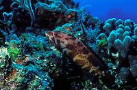 Coney (Cephalopholis sp.) reef fish.