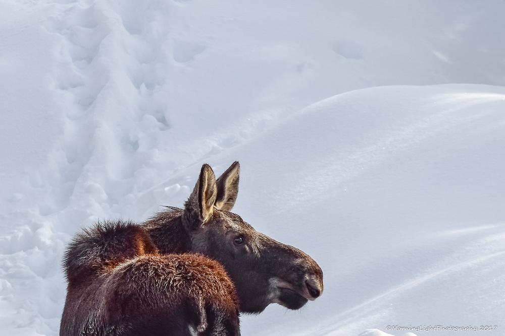 Moose in Winter