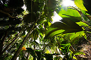 The Vallee De Mai palm forest ( May Valley), island of Praslin, Seychelles