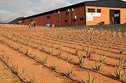 Aloe vera plants commercial cultivation factory building, Tiscamanita, Fuerteventura, Canary Islands, Spain