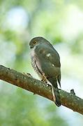 Madagascar Goshawk, Accipiter francesii francesii on branch, Berenty National Park, Madagascar, also known as Frances's sparrowhawk, Accipiter francesiae, endemic, Least Concern (LC) on the IUCN Red List
