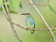 Purple Honeycreeper - Cyanerpes caeruleus longirostris<br /> female