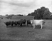 12/08/1959<br /> 08/12/1959<br /> 12 August 1959<br /> Pedigree Bulls and Heifers for Coras Trachtala. Young bull calves and dams owned by E.E. Wright, Kilkea, Castledrmot, Co. Kildare.