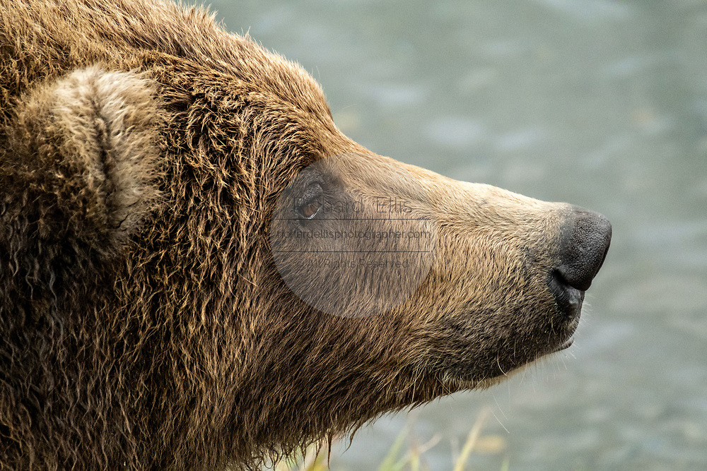 A sub-adult Brown Bear searches for salmon at Naknek Lake in Katmai National Park and Preserve September 16, 2019 near King Salmon, Alaska. The park spans the worlds largest salmon run with nearly 62 million salmon migrating through the streams which feeds some of the largest bears in the world.
