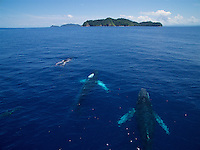 Humpback Whale (Megaptera novaeangliae)<br />