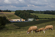Cattle graze in fields in front of works for a ventilation shaft for the Chiltern tunnel section of the HS2 high-speed rail link on 25th June 2021 in Chalfont St Giles, United Kingdom. Contractors working for HS2 Ltd have constructed a temporary haul road and embankment alongside Bottom House Farm Lane in order to access the site.